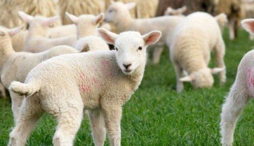 ソロプレイ用カードゲーム「シェフィ」の感想と攻略方法【面白い&羊が可愛い】